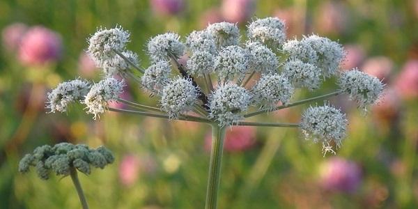 La planta medicinal Angelica es estimulante de la función digestiva ayudando en las digestiones pesadas