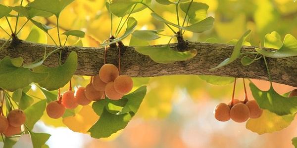 El árbol Ginkgo Biloba se ha utilizado desde hace siglos en la medicina tradicional China e India.