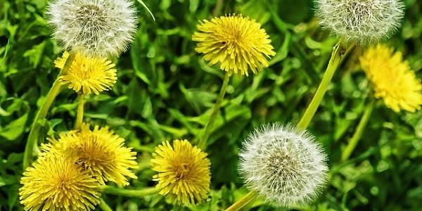El diente de León es una planta medicinal frecuente de nuestros prados y jardines