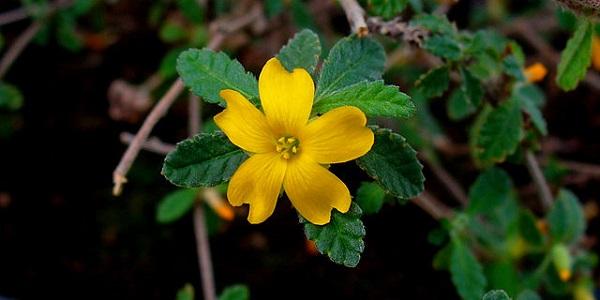 La Damiana es una de las plantas medicinales que tienen acción afrodisiaca