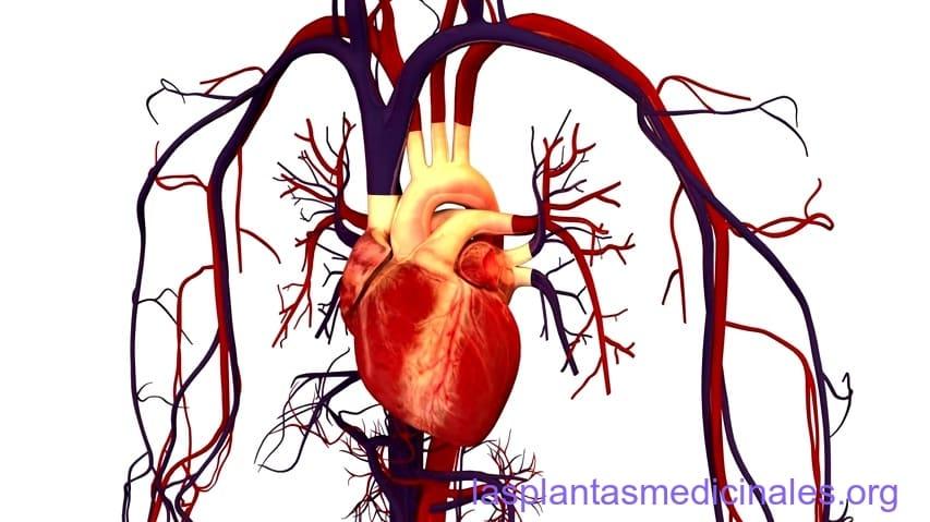 plantas-medicinales-para-mejorar-la-circulación-sanguínea