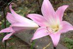 La belladona es una planta en forma de arbusto