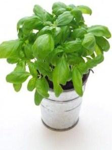 La albahaca es una planta muy versátil