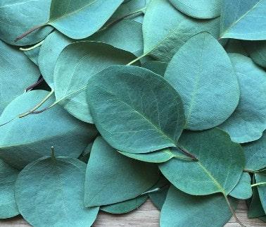 En la aromaterapia el eucalipto se usa principalmente para las enfermedades respiratorias.