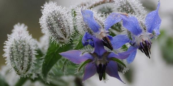 La borraja es una planta comestible que se puede agregar a la ensalada por su parecido sabor al del pepino.