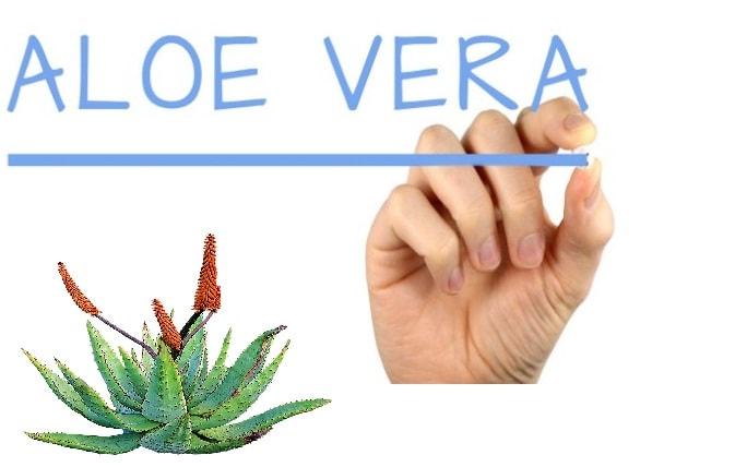 Aloe vera o sabila para que sirve y sus propiedades medicinales - Como es la planta de aloe vera ...