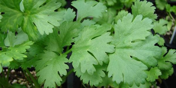 El cilantro es una de las mejores plantas medicinales para eliminar metales pesados