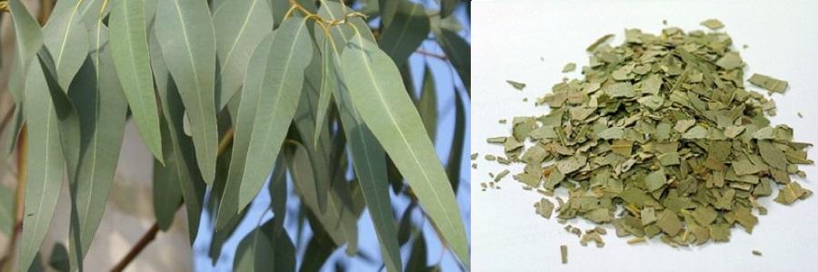 El eucalipto entra dentro de las plantas medicinales expectorantes