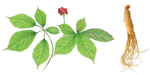 El ginseng es una planta medicinal con un gran valor nutritivo