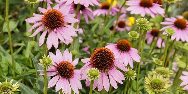 La equinácea es una de las plantas medicinales más utilizada mundialmente