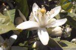 La flor de azahar es rica en aceites esenciales, pectinas, heterósidos flavónicos, vitaminas y ácido ascórbico.