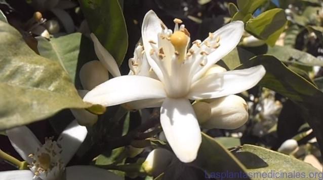 La flor de azhar es rica en aceites esenciales, pectinas, heterósidos flavónicos, vitaminas y ácido ascórbico.