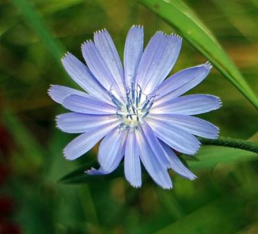 La achicoria es una planta de la familia de las asteráceas