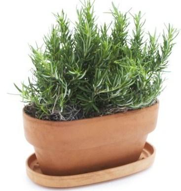 El romero es una hierba de rico aroma