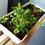 Plantas medicinales que podemos cultivar en casa