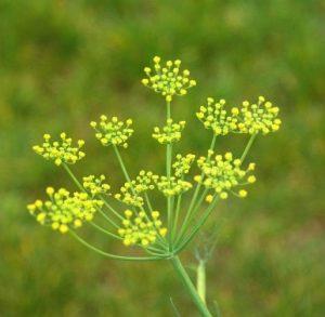 el hinojo es una planta afrodisíaca para el deseo sexual