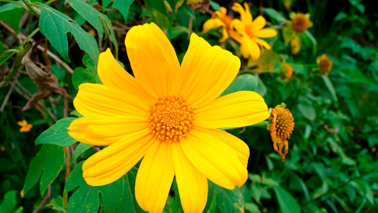 planta medicinal arnica