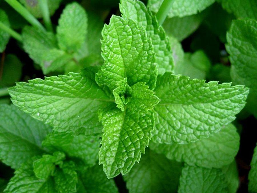 Plantas Medicinales: La Hierbabuena