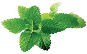Planta-Medicinal-melisa-o-toronjil