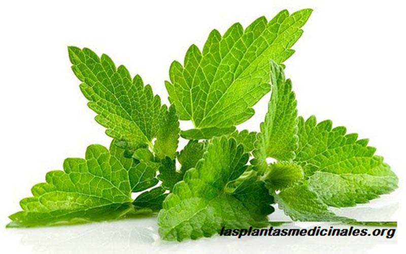 Planta medicinal melisa o toronjil todos sus beneficios - Planta de melisa ...