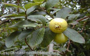 Planta medicinal guayaba