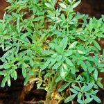 Plantas Medicinales: La Ruda