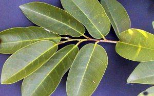Planta medicinal guanábana