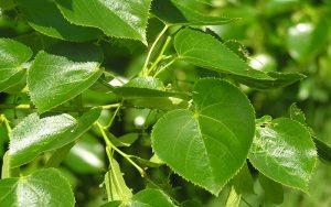 Planta medicinal Tilo