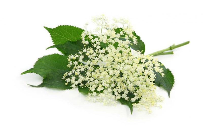 Planta medicinal sauco