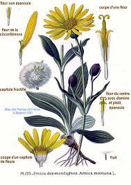 plantas aromáticas la árnica