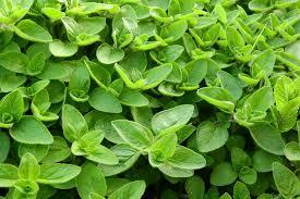 plantas aromáticas la mejorana