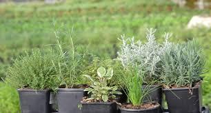 sembrar las plantas aromáticas