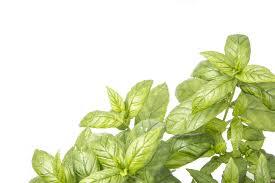 plantas aromáticas la hierbabuena